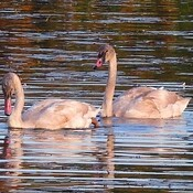Trumpeter Swan young ones