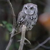 Eastern Screech Owl tonight
