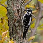 Hairy Woodpecker enjoying a beautiful Fall day!