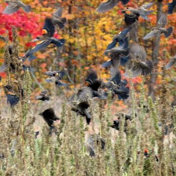 Flock of red-winged blackbirds