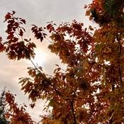 Le Soleil derrière un chêne