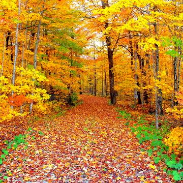 L'arbre est dans ses feuilles... le sentier aussi