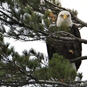 Eagle.