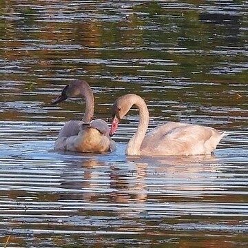 Two Young Trumpeter Swans