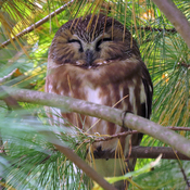 Northern Saw-Whet Owl Roosting In Late Afternoon