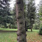 Interesting tree bumps