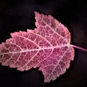 A Leaf's Growth