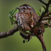 2021-10-16 - Song Sparrow contemplating its next move in Colwood BC