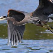 2021-10-15 - Great Blue Heron, doing a flyby, over Esquimalt Lagoon