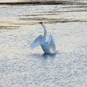 Mute Swan shows off