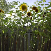Sunflowers... I love u too much!