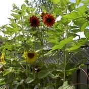 "Dear Sunflowers...I love u too much!... P.S... Post""Sunflower""Malone"
