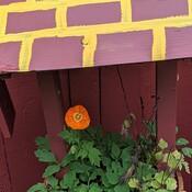 poppy in October