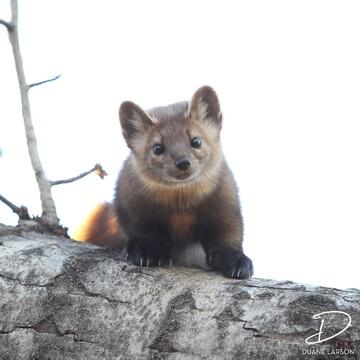 Friendly Pine Marten