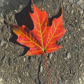 Red Maple Leaf With it's Delicate Green Veins