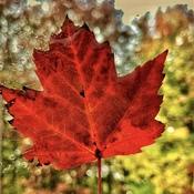 Translucent Maple Leaf