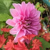 The last pink dahlia