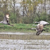 sandhill cranes are back
