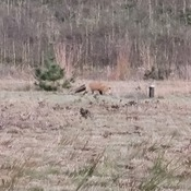 Fox walking during Chilly Evening