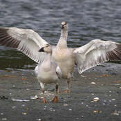 2021-10-06 - Snow Goose showing the good to its mate at Esquimalt Lagoon