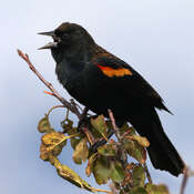 2021-10-18 - Red-winged blackbird singing its beautiful song, in Colwood BC