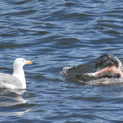 A seagull attempting to get a meal from a seal