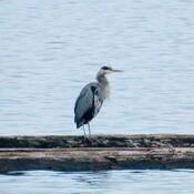 Heron on the Alberni Inlet