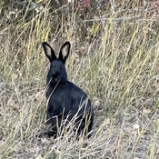 Black bunny in the Mountains