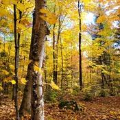 mayple trees
