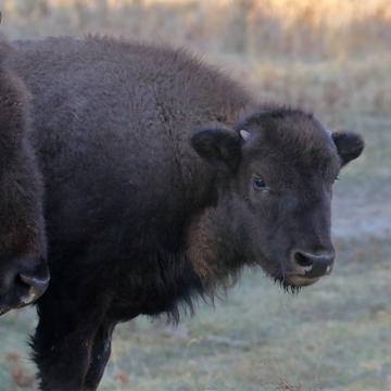 Plain bison
