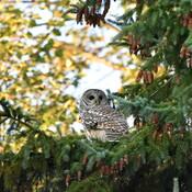 Barred Owl in Ottawa South