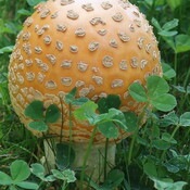 Huge fall mushroom