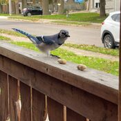 Bluejay snacking on peanuts