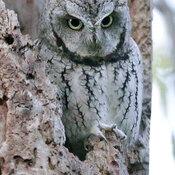 Screech Owl tonight in Ottawa