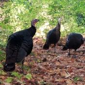 Wild turkeys, Mud Lake