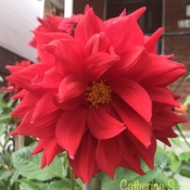 Beautiful Red Dahlia with Yellow Anthers