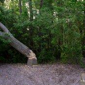 Beavers keep logging