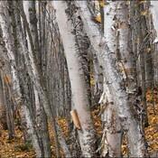 Birches, Elliot Lake.