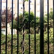 Climbing Vine Embracing Wrought Iron Fence
