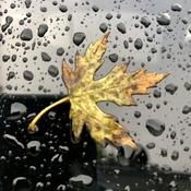 Maple leaf on window