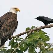 2021-10-20 - A crow having a conversation with a bald eagle at Esquimalt Lagoon