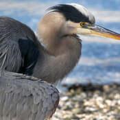 2021-10-21 - Great Blue Heron, up close, at Esquimalt Lagoon