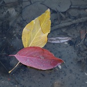 Leaves and Water Ripples