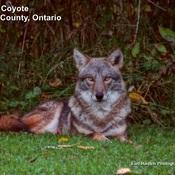 Coyote Norfolk County, Ontario