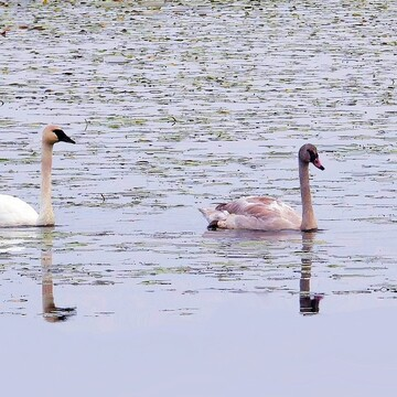Four Trumpeter Swans