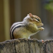Chipmunk getting ready for winter