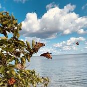 Butterflies at Pt Pelee