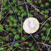 Icicle Mushroom