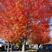 Oct 22 2021 Happy Friday:) Autumn Red - Armstrong Park Markham