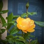 last beautiful rose